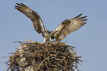 Osprey comming into the nest photo