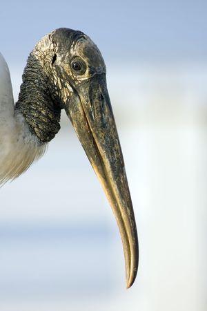 close up   head: Close up head shot of a Wood Stork Stock Photo
