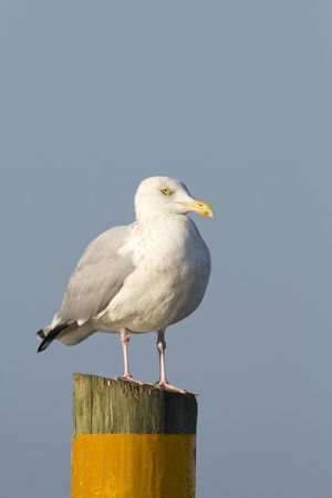 Herring Gull perched on a piling