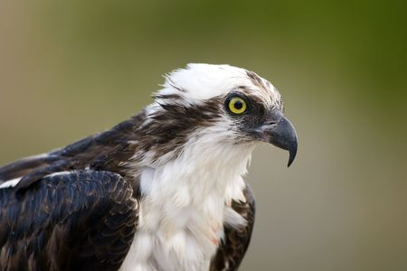 Close up head shot of an Osprey photo