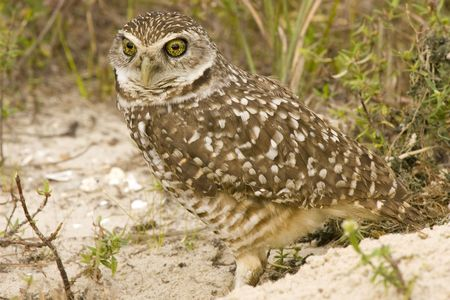 burrow: A Burrowing Owl near his burrow Stock Photo
