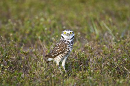 burrowing: Burrowing Owl hunting in a field Stock Photo