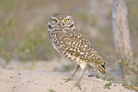 burrowing: A Burrowing Owl watches near his burrow Stock Photo