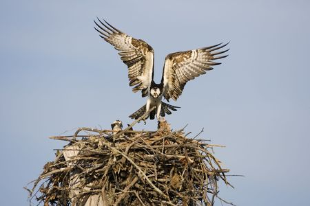 osprey: An Osprey enters the nest with a fish for his mate Stock Photo