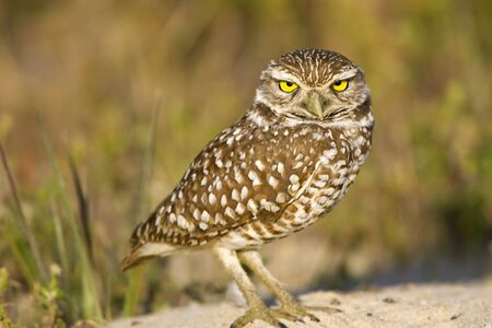 burrow: A Burrowing Owl just outside the entrence to his burrow Stock Photo