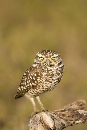 burrow: A Burrowing Owl perched on a stick outside his burrow