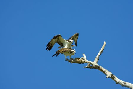 A pair of osprey copulating photo