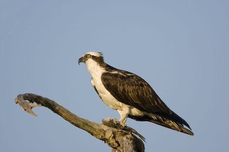 An Osprey perched in a tree eating a fish photo