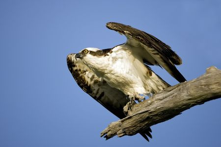 talons: An Osprey getting ready to take off Stock Photo