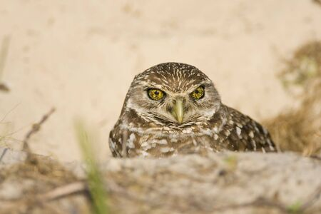 The female Burrowing Owl came up for a look at the world Banco de Imagens