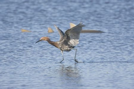 красноватый: Reddish Egret fishing with a Nurse Shark in the background