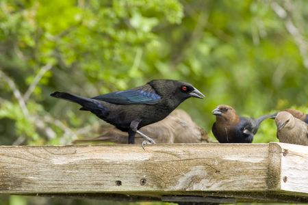 bronzed: Bronzed Cowbird eating seeds from a platform a platform feeder