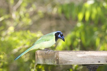green jay: Green Jay en la plataforma de enlace