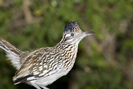 greater: Greater Roadrunner perched and watching Stock Photo