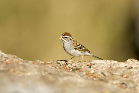 chipping: Chipping Sparrow feeding on seeds