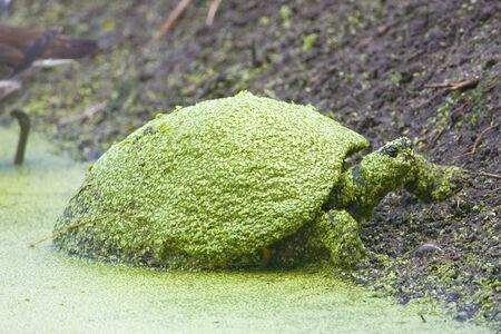 cooter: Common Cooter covered with Duck Weed rests on the bank Stock Photo