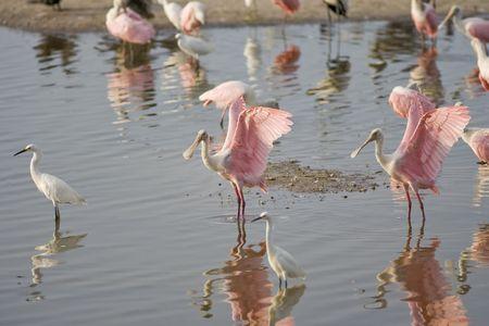 roseate: Roseate Spoonbills preening in a group of shorebirds