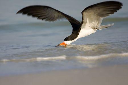 skimming: Negro Skimmer descremado de surf a lo largo de la l�nea