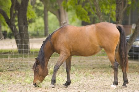 A horse in a corral eating scraps