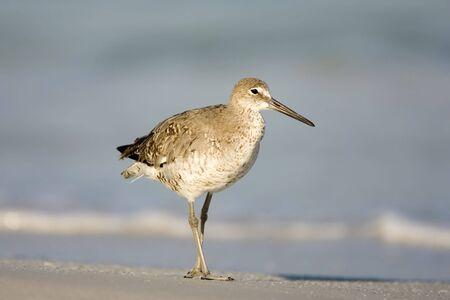 A willet takes a stroll on the beach 版權商用圖片