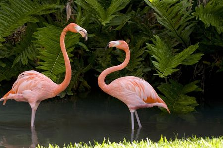 disputed: A Pair of Flamingos square off over disputed territory
