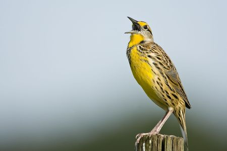 atop: An Eastern Meadowlark calling from atop a fence post Stock Photo