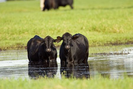 black angus: A pair of Black Angus cows cooling off in a flooded pasture