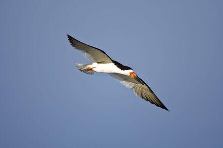 skimmer: A Black Skimmer in flight along the beach