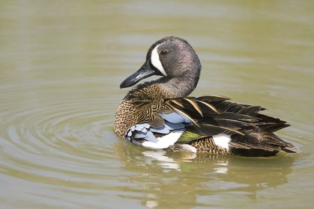 waterbird: A Blue-winged Teal preening as he swims across the pond