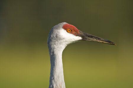 sandhill crane: A close up head shot of a Sandhill Crane Stock Photo