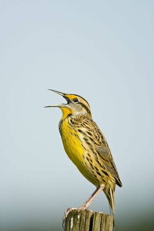 atop: An Eastern Meadowlark singing from atop a fence post