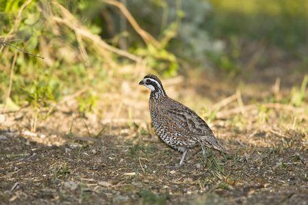 codorniz: Bobwhite del Norte A la caza de codorniz propagaci�n de semillas en un campo