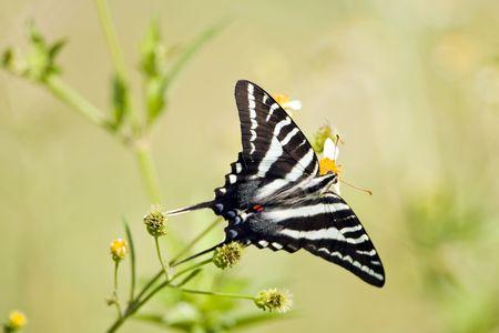 A Zebra Swallowtail butterfly perched on a roadside flower