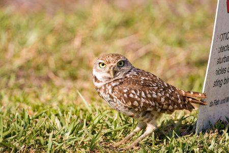 burrowing: A Burrowing Owl outside his burrow