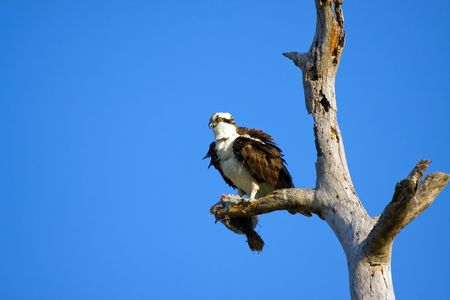 bird eating raptors: An Osprey perched and earing a Flounder Stock Photo