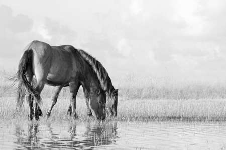 barrier island: Two wild mustangs feed on a tidal flat along a North Carolina barrier island.