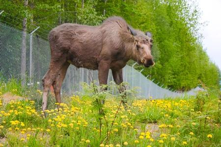 Hungry Moose Фото со стока