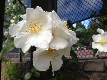 Bundle of white roses in a garden.