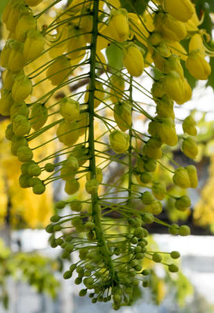 fistula: Golden Shower yellow flower with city background