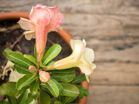 obesum: Desert rose flower,  Adenium obesum on wood table