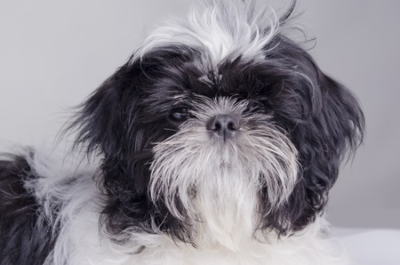half blooded: the thoroughbred dog of a shih-tzu sits on a white background Stock Photo