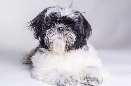 man's best friend: dog is mans best friend Shih Tzu on white background