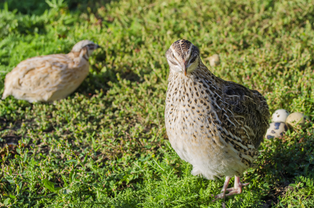 quail on a green grass in the spring in a sunny weather