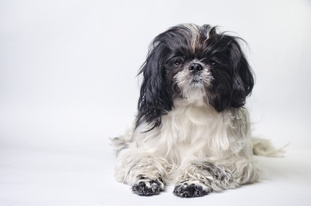 silky terrier: dog breed shih tzu on a white background