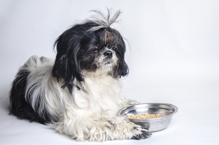 trough: dog breed shih tzu on a white background