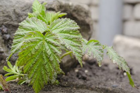 Green raspberry leaves against the background of the earth Stock Photo