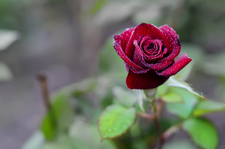Red rose in the garden with dew on the petals Zdjęcie Seryjne