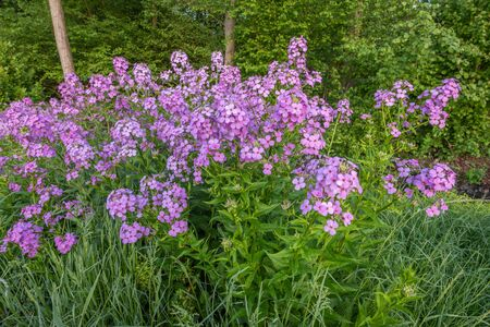 Purple flowers in bloom in the French countryside during spring