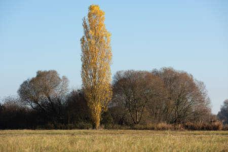 Poplar Tree with fall colours Foto de archivo