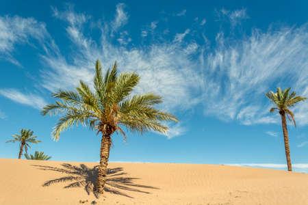Palm in the desert oasis morocco sahara Stock Photo